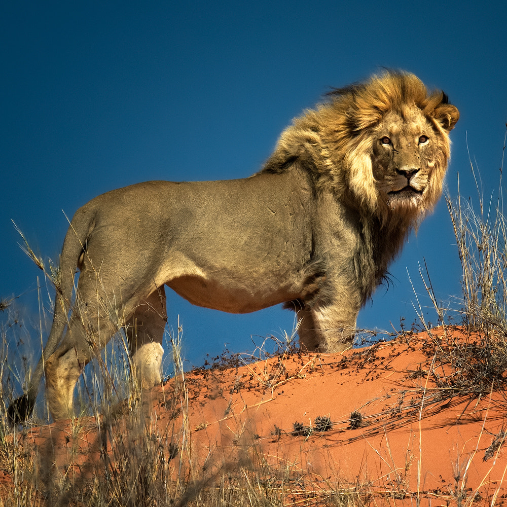 Photograph The Lion King by Ania Tuzel on 500px