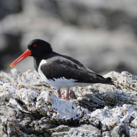 The oystercatcher II