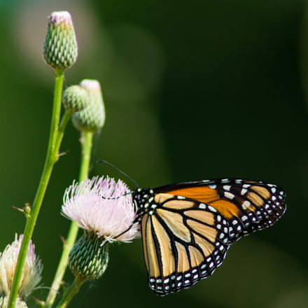 Monarch Butterfly On A, Sony SLT-A57, Tamron 200-400mm F5.6 LD