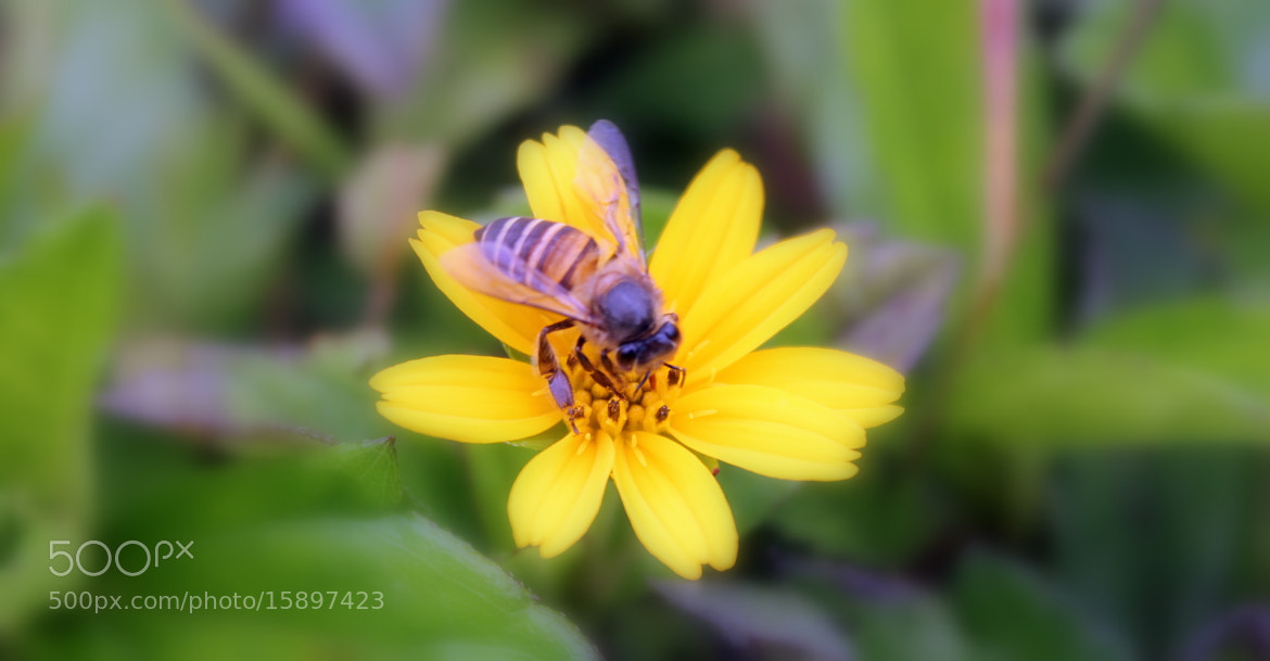 Photograph honeyBee by Santosh Kumar on 500px