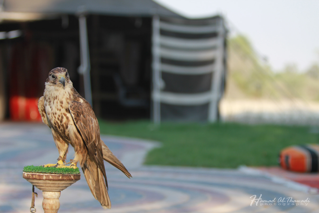 Photograph Falcon by Hamad  althawadi on 500px