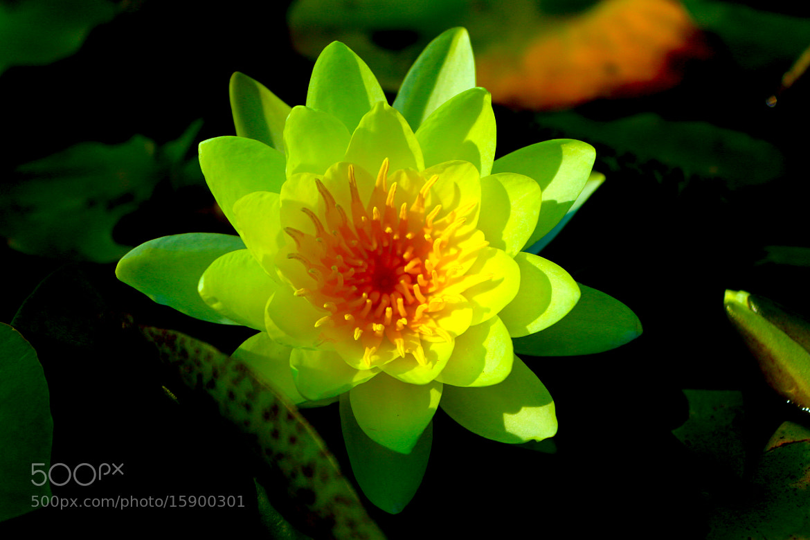 Photograph water lily by lili Kogonia on 500px