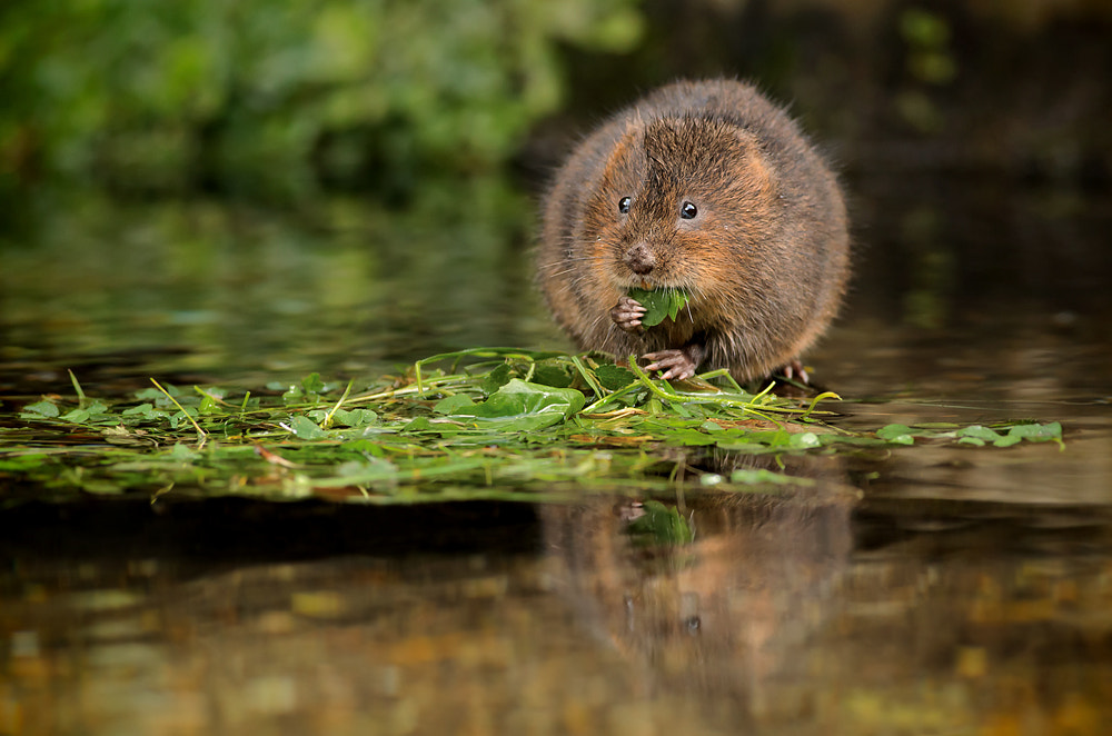 Photograph Water Vole by Phil  Morgan on 500px