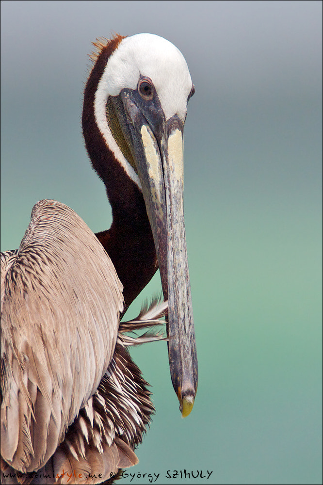 Photograph Brown Pelican (Pelecanus occidentalis) by Gyorgy Szimuly on 500px