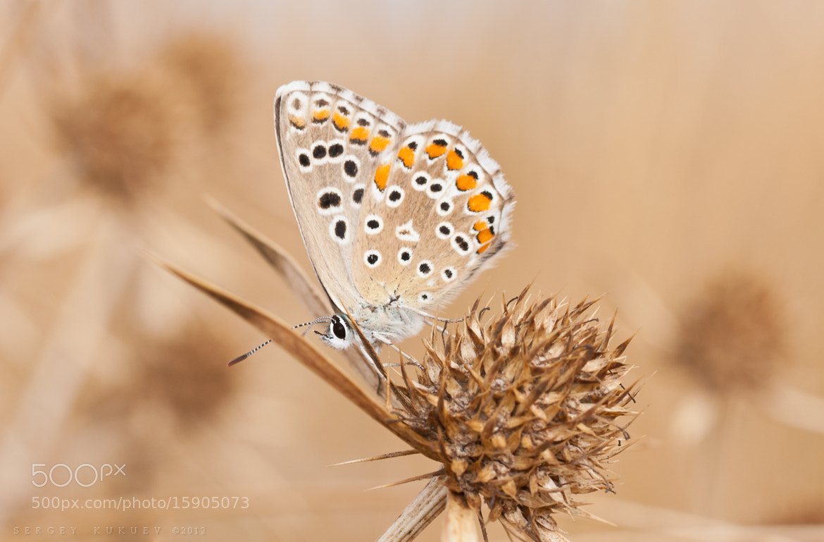 Photograph Common blue by Sergey Kukuev on 500px