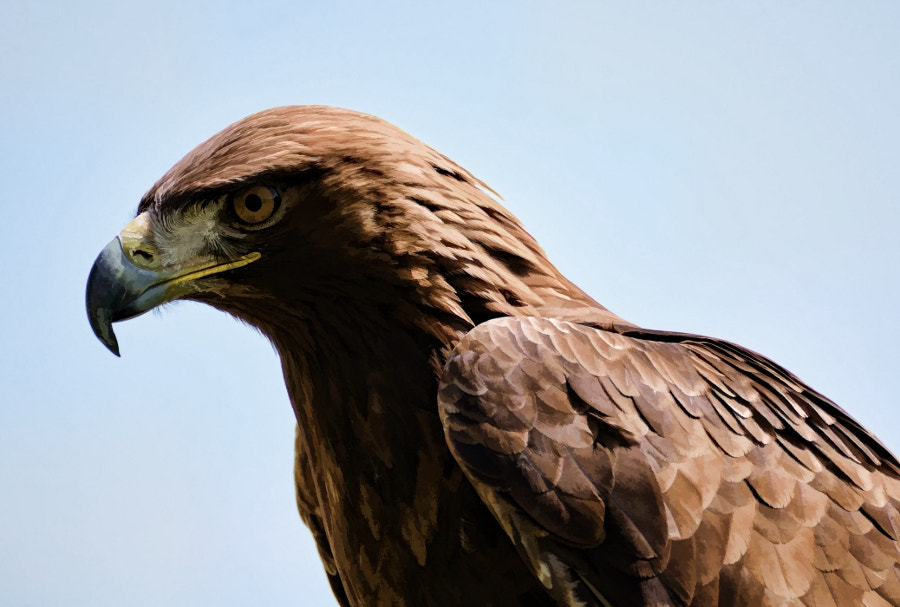 Photograph Golden Eagle [Painting Version] by Frank Dürr on 500px