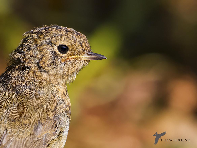 Photograph Robin by Alastair Hood on 500px