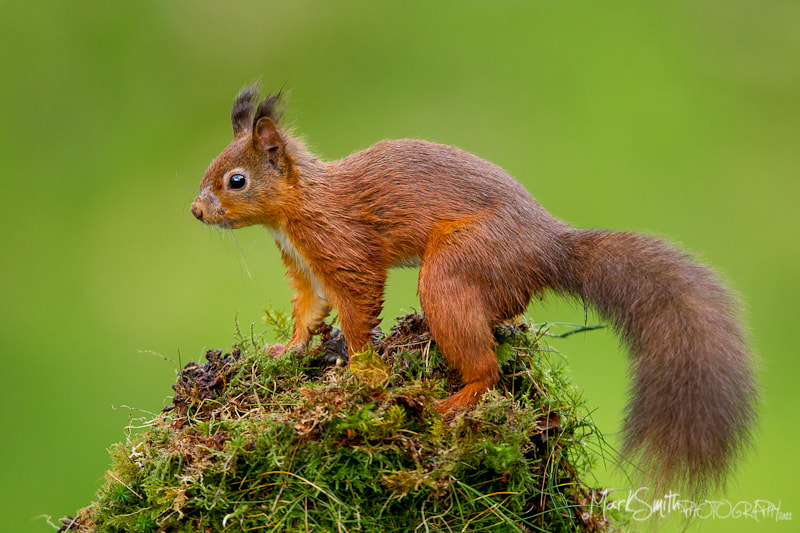 Photograph Red Squirrel  by Mark Smith on 500px