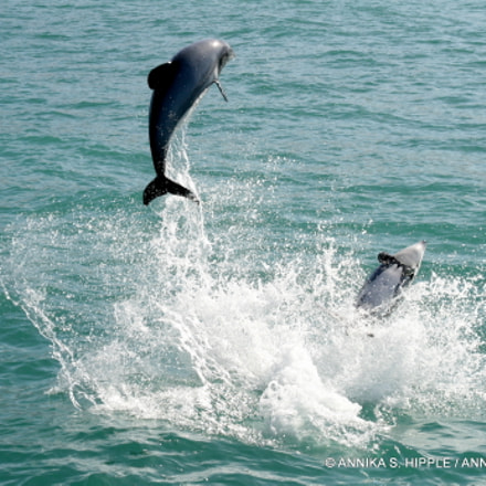 Leaping Hector's dolphins, Akaroa, Canon EOS DIGITAL REBEL XTI, Sigma 18-125mm f/3.5-5.6 DC IF ASP
