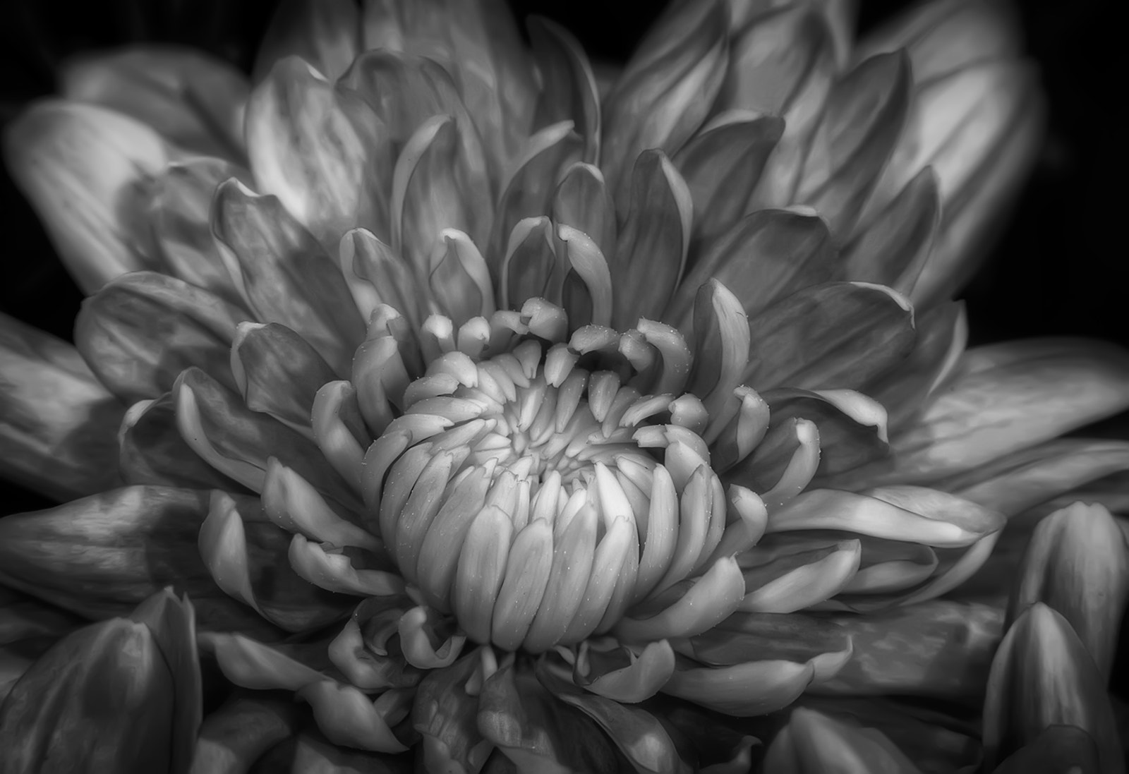 Photograph Chrysanthemum by Scott Norris on 500px
