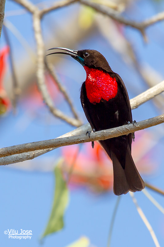 Photograph Scarlet-Chested Sunbird by Viju Jose on 500px