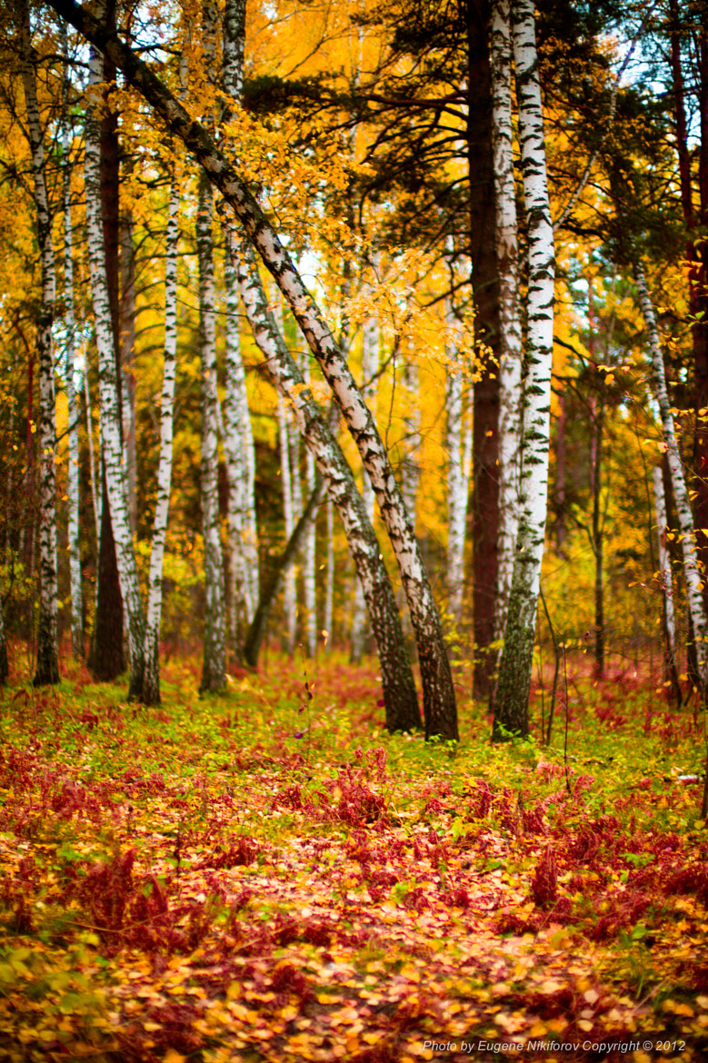 Photograph Birch forest, Novosibirsk, Russia by Eugene Nikiforov on 500px