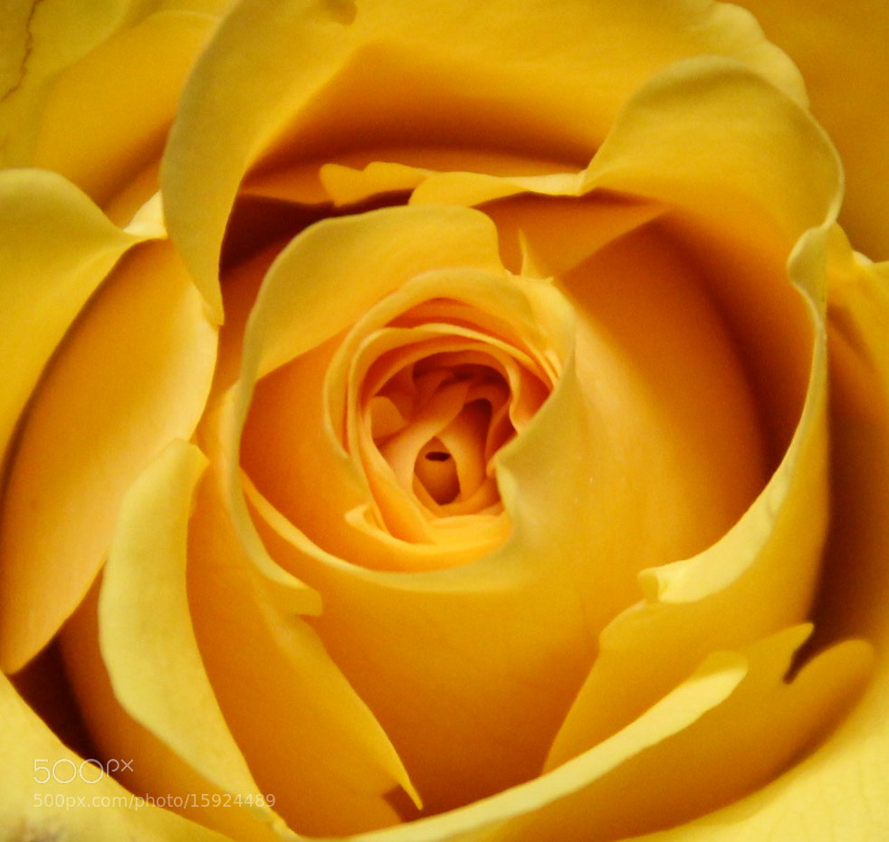 Photograph Yellow Beauty! by Ann Weis on 500px