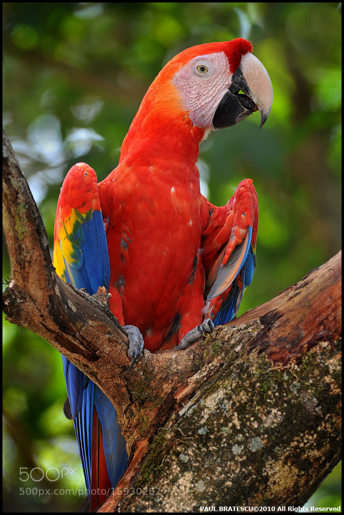 Photograph Scarlet Macaw of Copan by Paul Bratescu on 500px