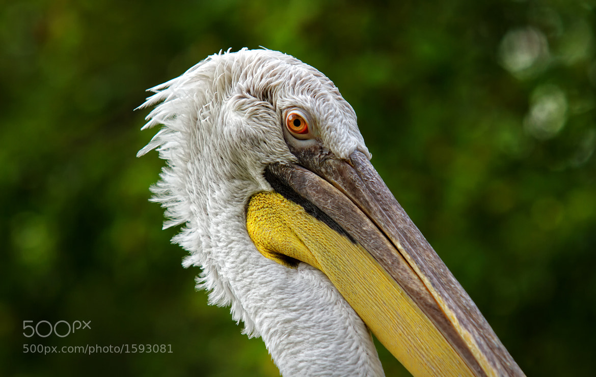 Photograph Pelican by Jiří Mikula on 500px