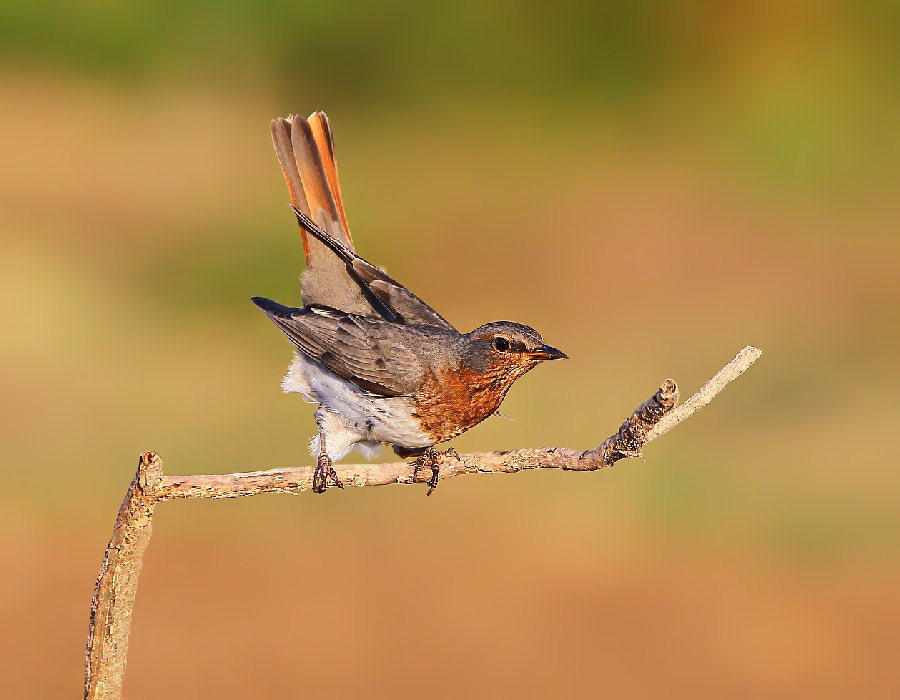 Photograph Red-throated Thrush by Dajan Chiou on 500px