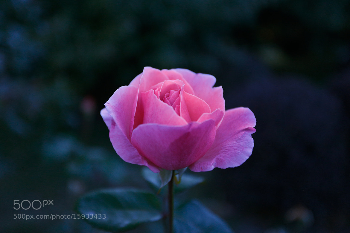 Photograph Pink rose by Qi Zhi on 500px