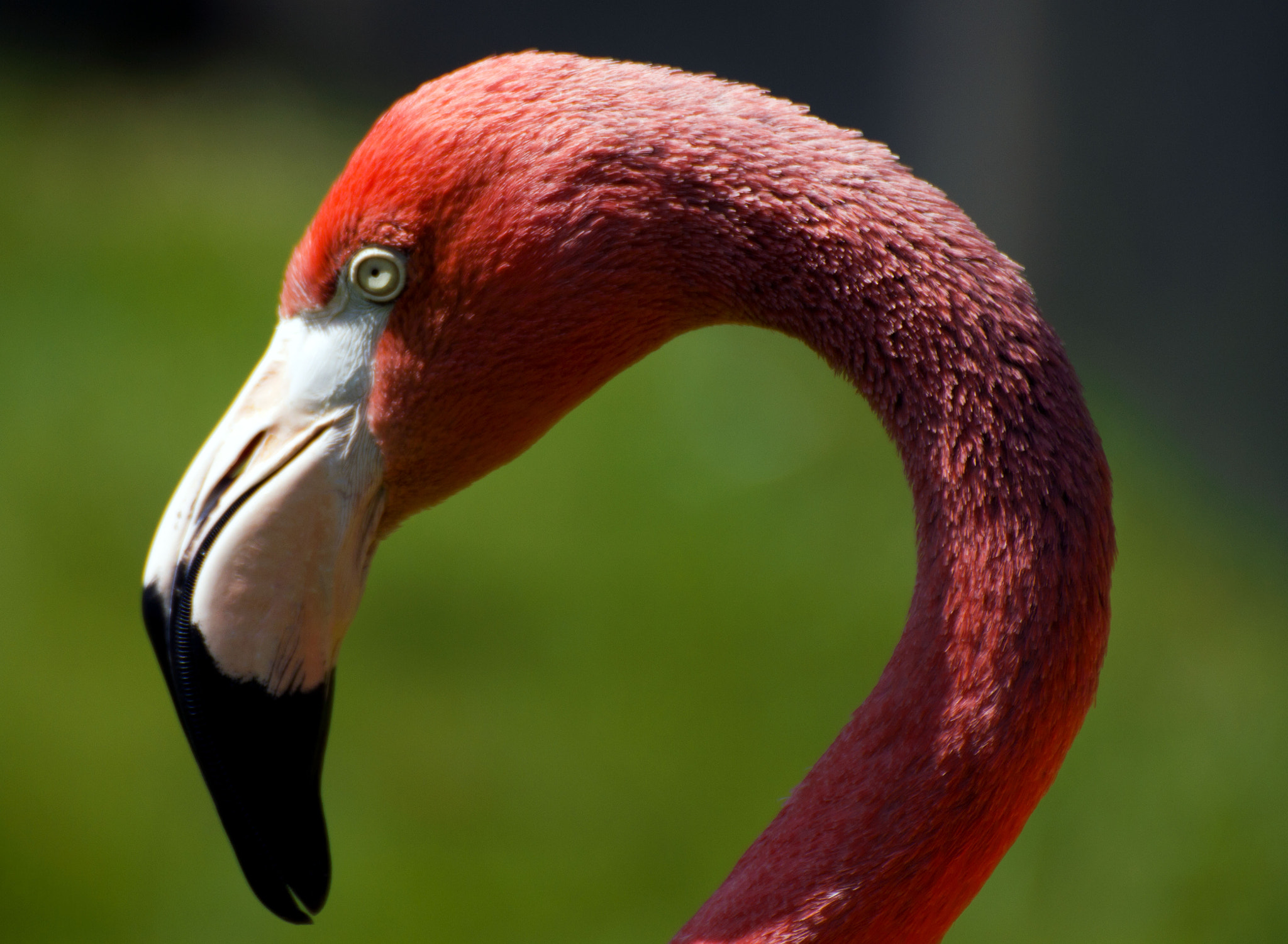 Photograph Angry Flamingo by Jayden Rebchuk on 500px