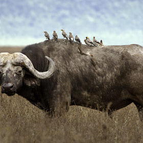 Buffalo soldier by yoel schlaen (yoelschlaen)) on 500px.com