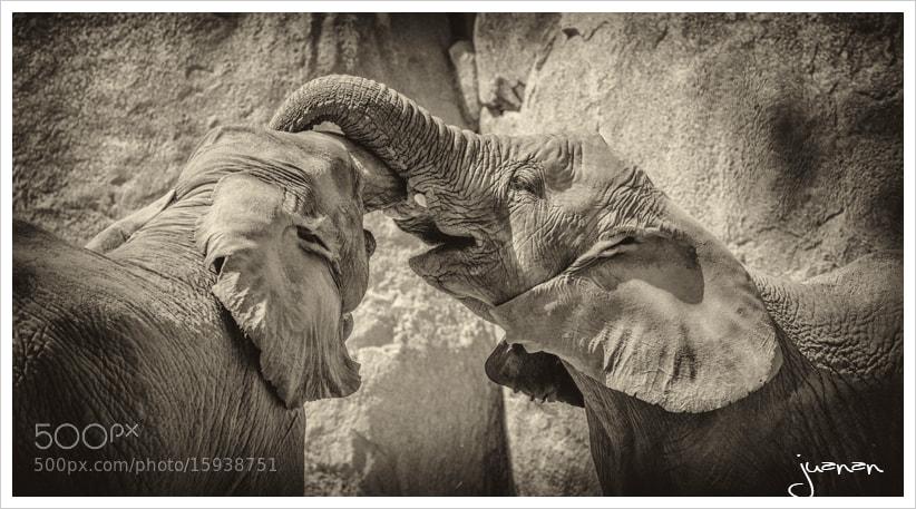 Photograph ELEFANTE AFRICANO DE SABANA by Juan antonio Moreno Arcos on 500px