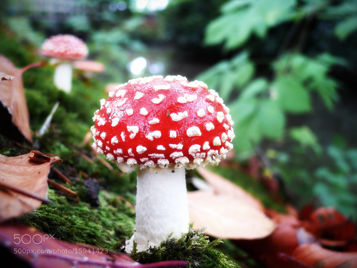 Photograph FLY AGARIC by the frie on 500px