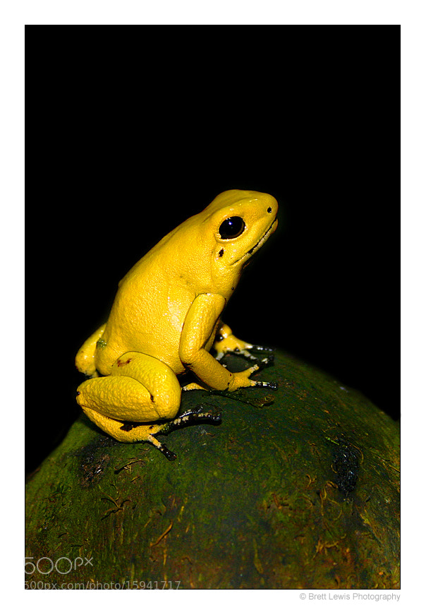 Photograph Golden Poison Dart Frog by Brett Lewis on 500px