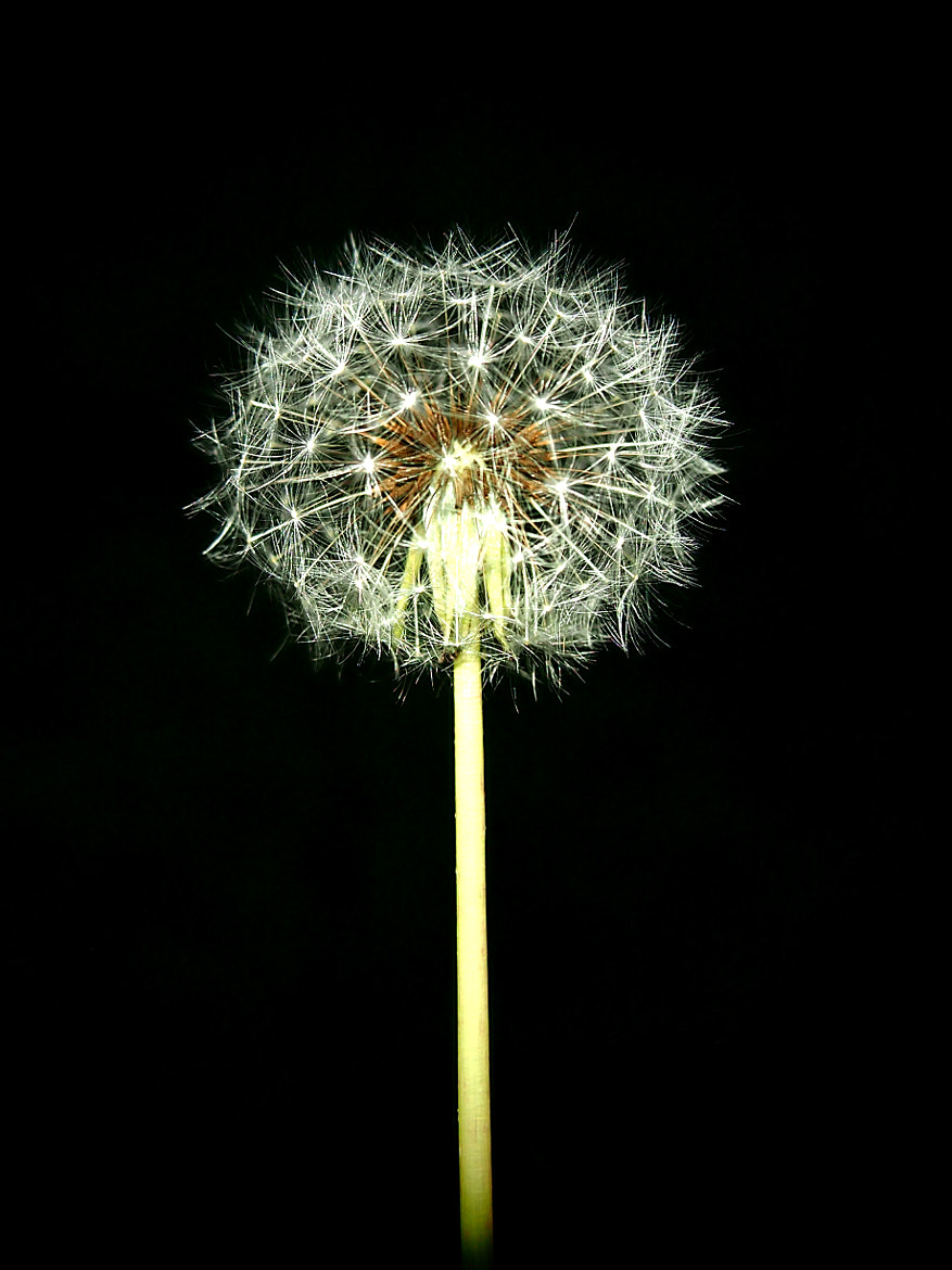 Photograph Dandelion by Tony  Carriero on 500px