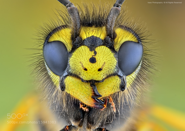 Photograph Wasp. by ireneusz irass walędzik on 500px