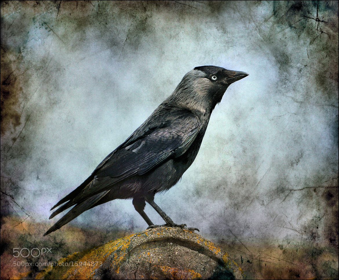Photograph The Jackdaw. by bri curtis on 500px