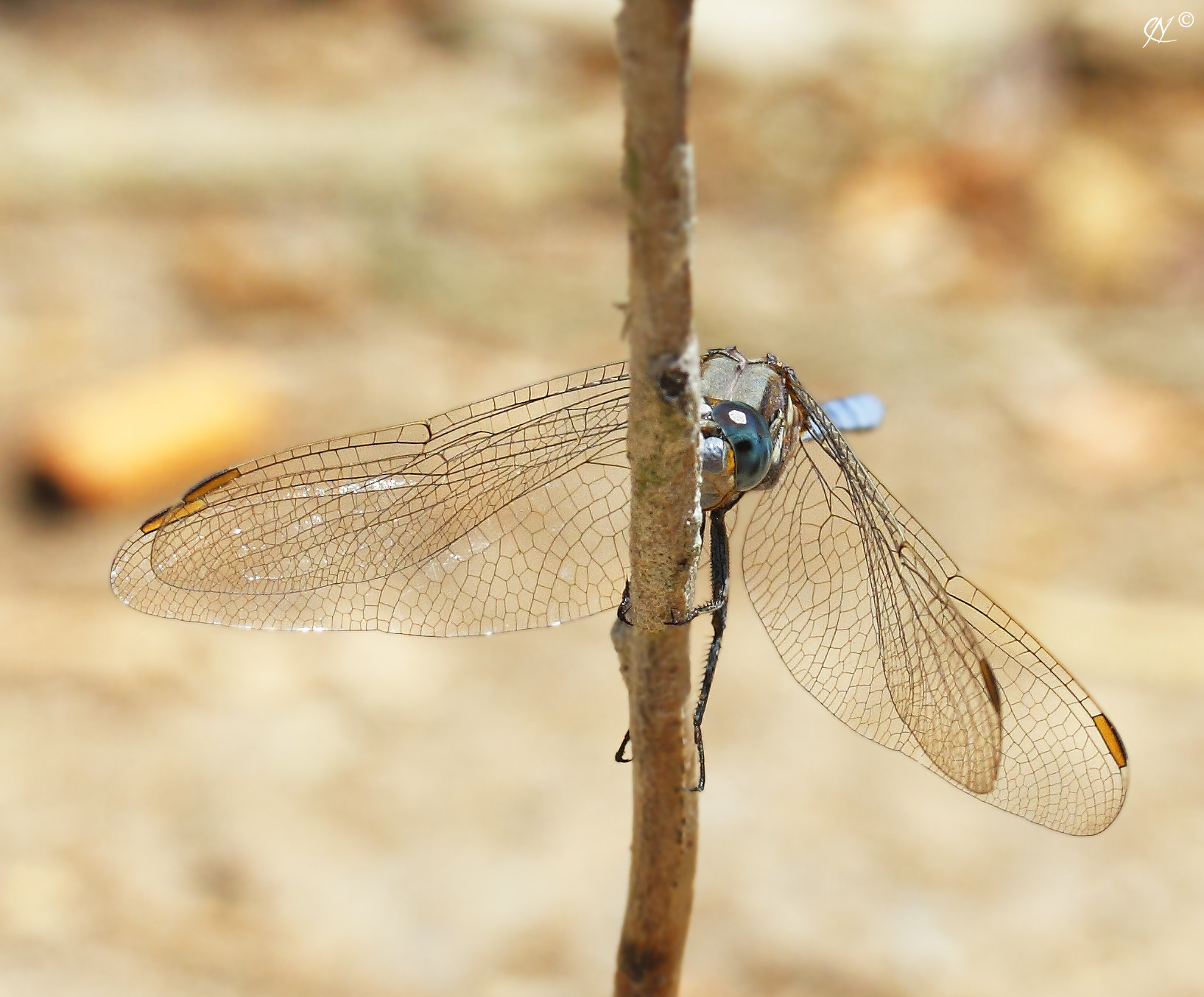 Photograph Dragonfly / Libellule by Nabil CHETTOUH on 500px
