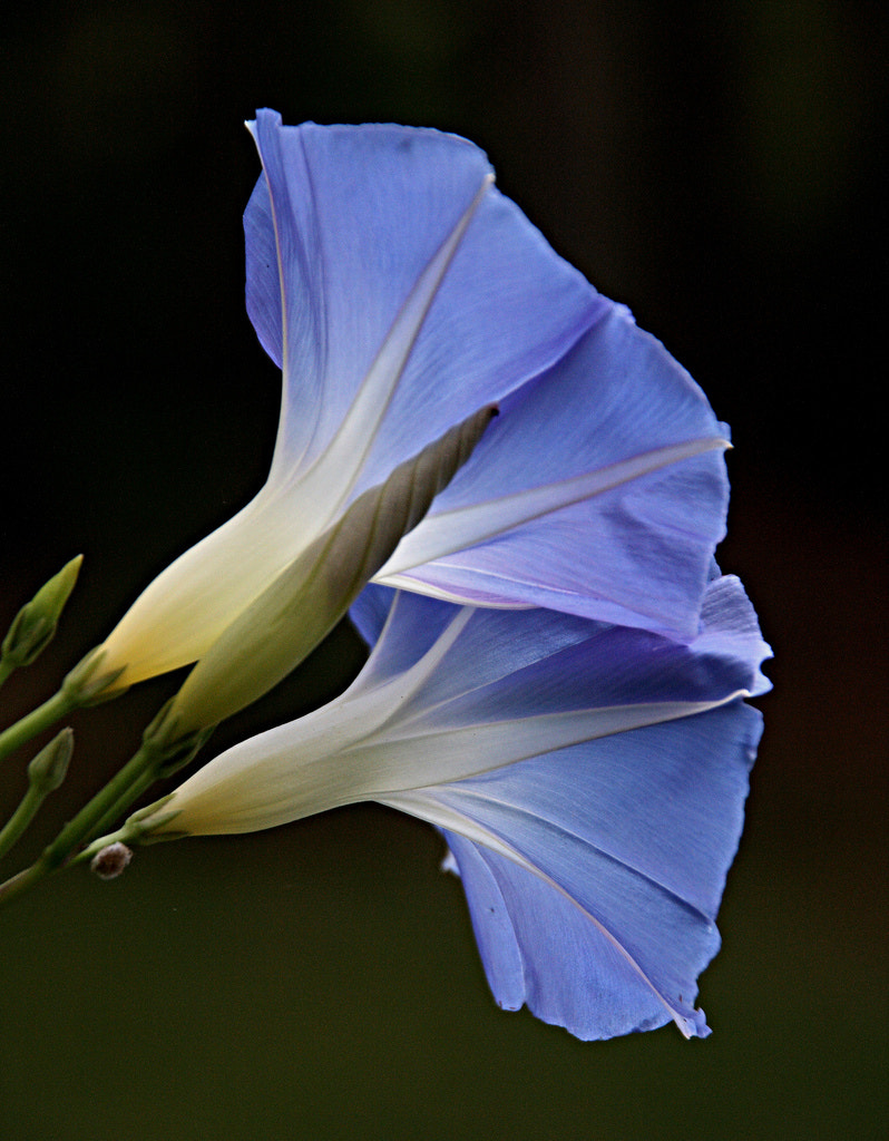 Photograph Morning Glory by Gerry Rosser on 500px