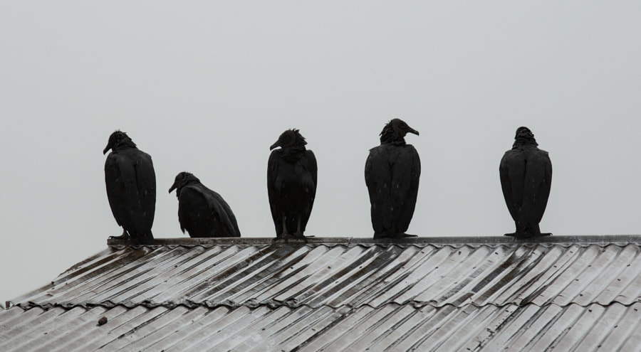 Vultures silhouette