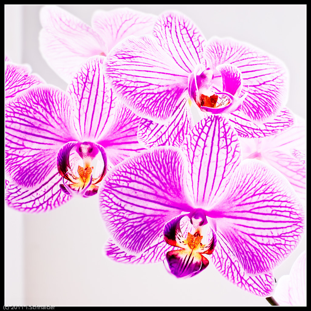 Photograph Orchids by tschnaider on 500px