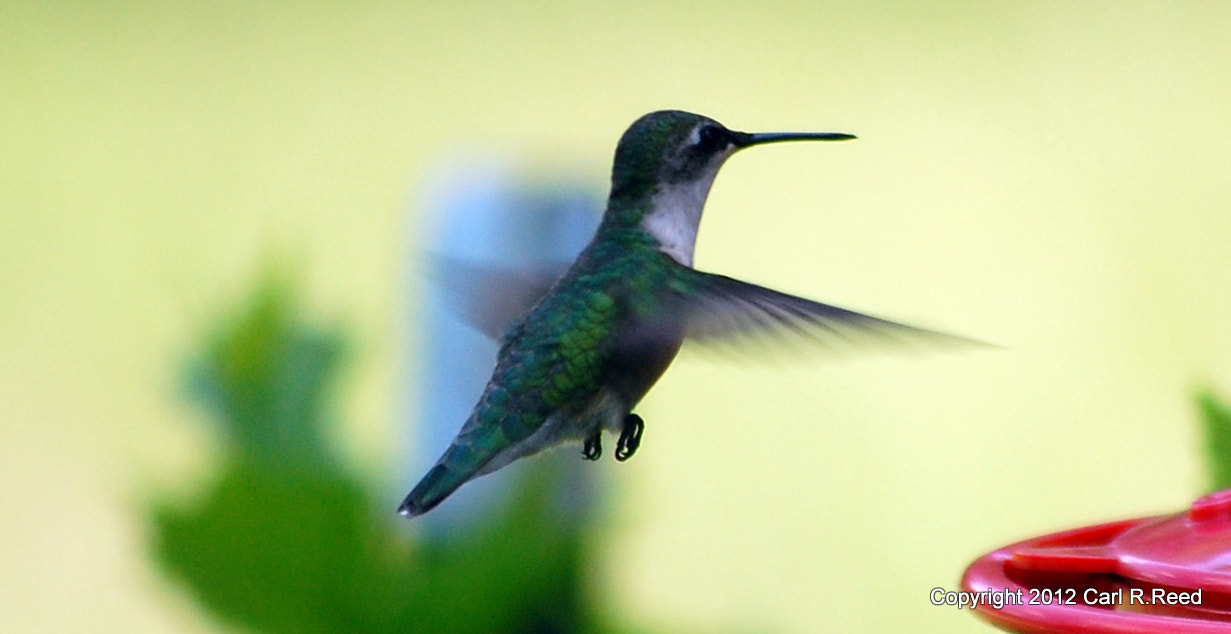 Photograph hummingbird 9418 by Carl Reed on 500px