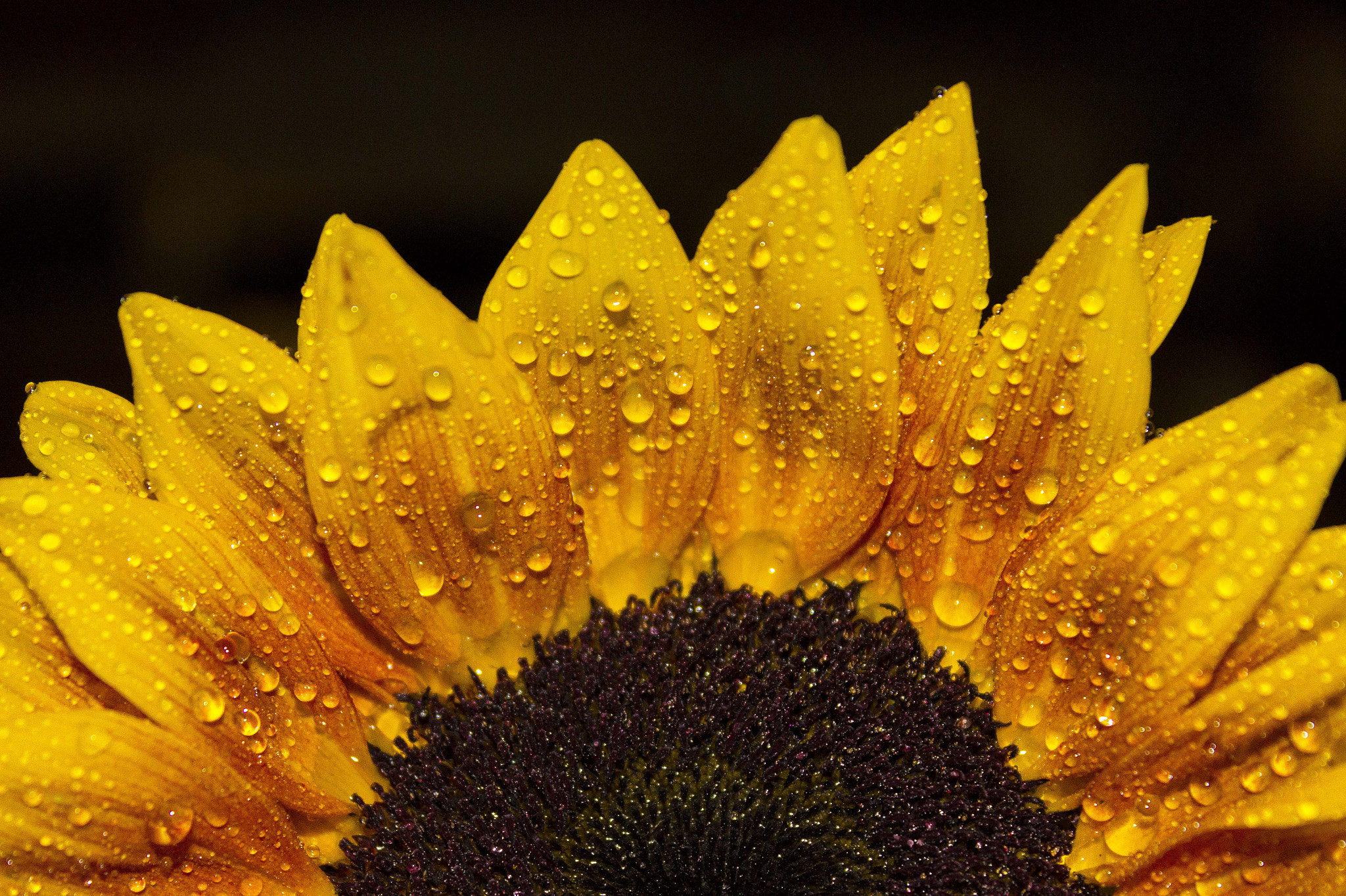 Photograph Sunflower 4 by John Velocci on 500px