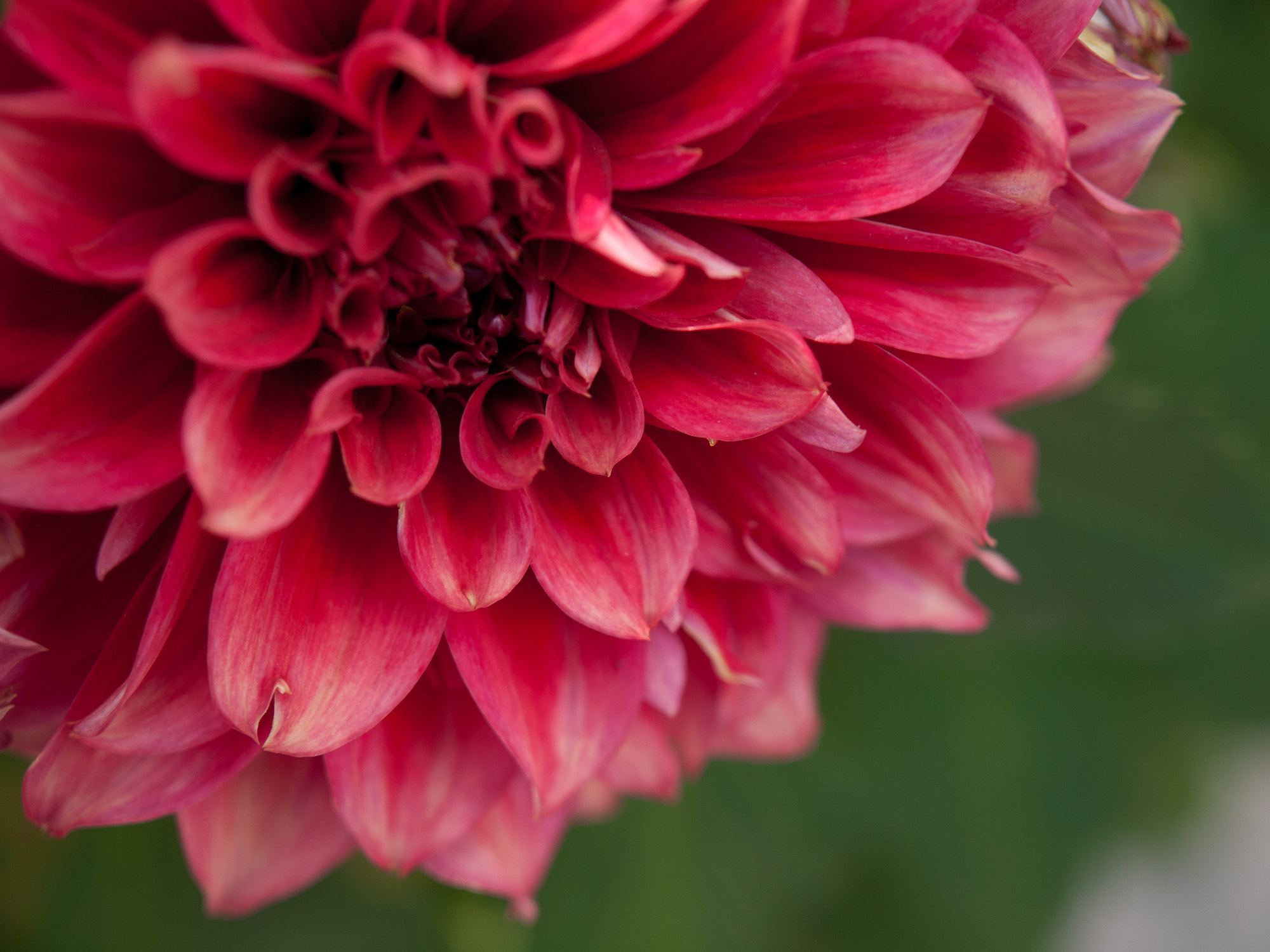 Photograph Dahlia by William Lo on 500px