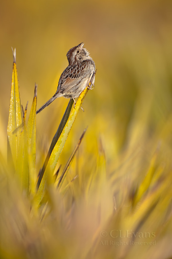 Photograph Spring Sing - Bachman's Sparrow by Christina Evans on 500px