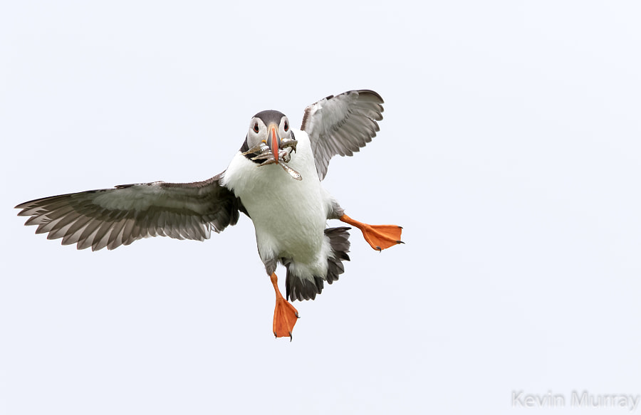 puffin landing by Kevin Murray on 500px.com