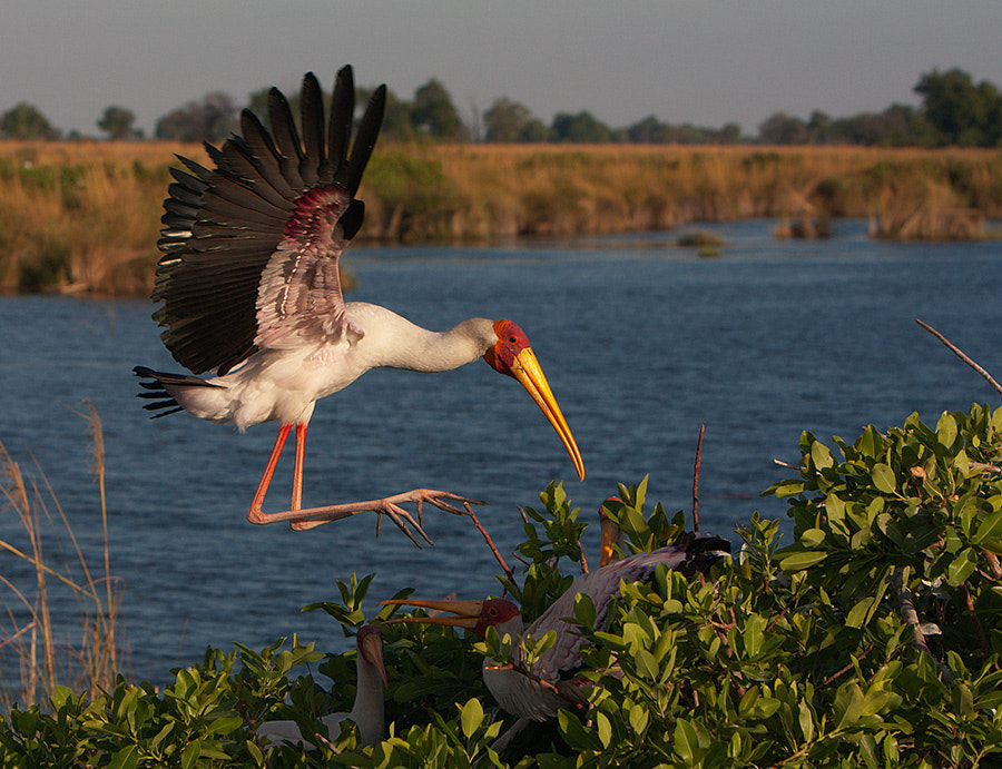Photograph Yellow-billed Stork by Thomas Retterath on 500px