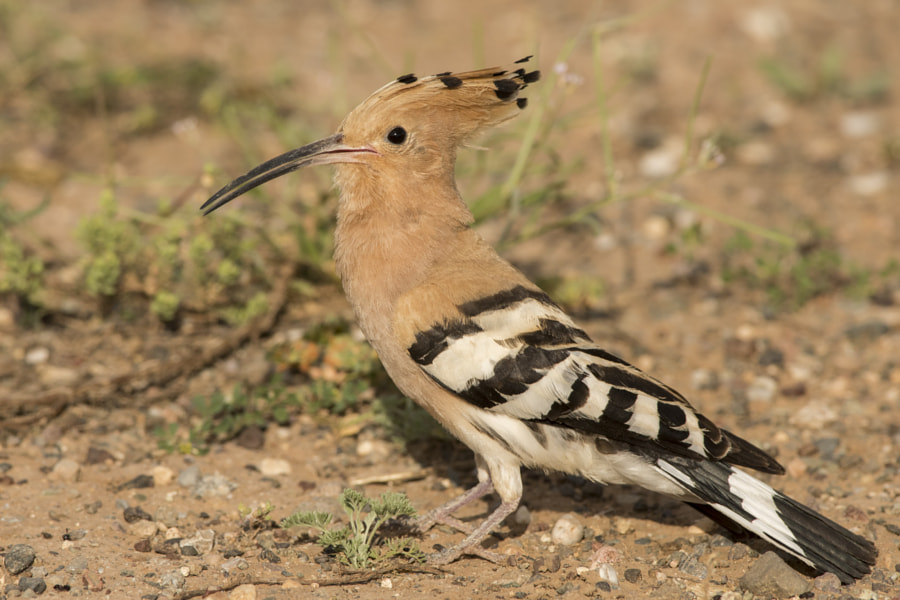 Hoopoe by vedat esen on 500px.com