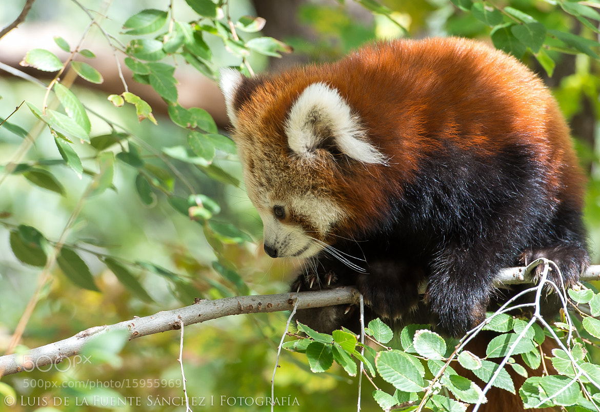 Photograph Panda rojo by Luis  de la Fuente Sánchez on 500px