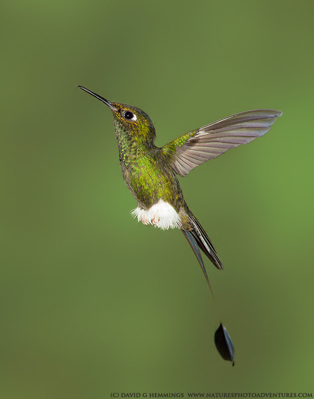 Photograph Booted Racquet-tail Hummingbird by David Hemmings on 500px