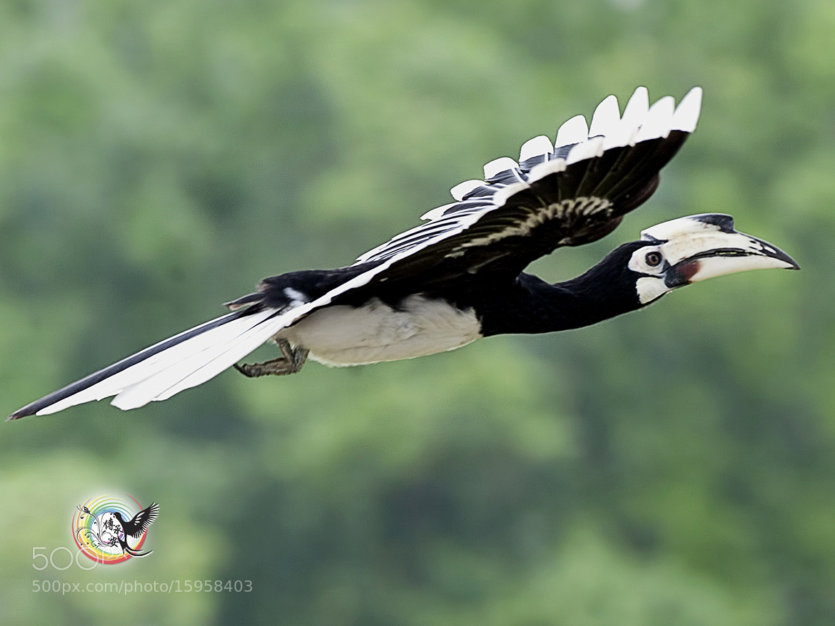 Photograph Oriental Pied hornbill by Andy Fu on 500px