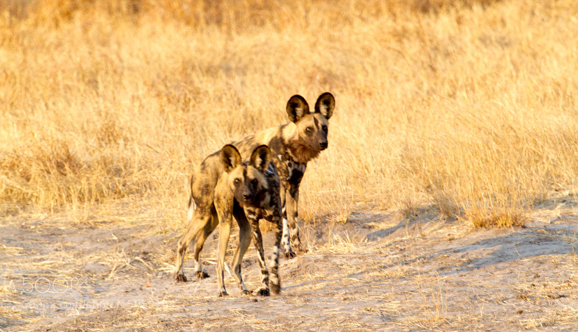 Photograph Wild Dogs by  Balasubramaniam on 500px