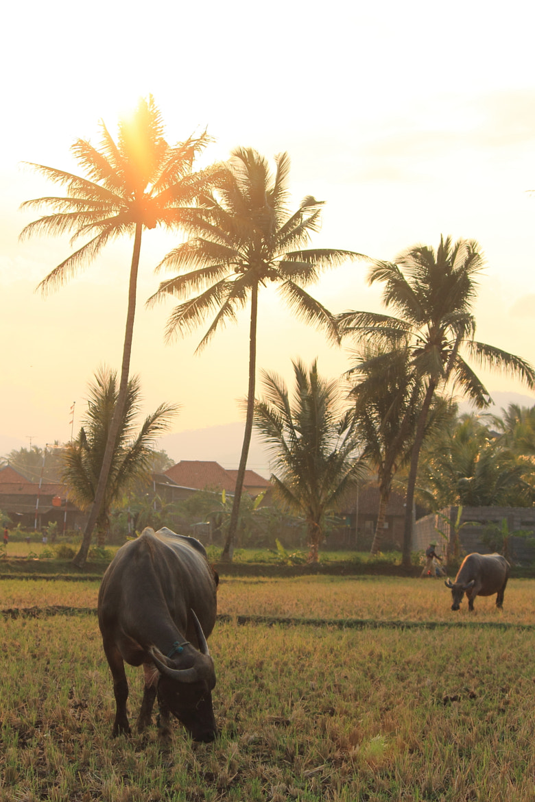 Photograph Buffaloes and Sunset in the Paddy Field by Edo Kurniawan on 500px