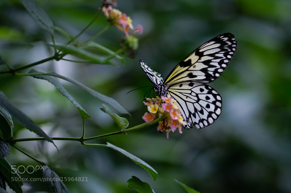 Photograph Butterfly (Idea leuconoe by Gereon Schlüter on 500px