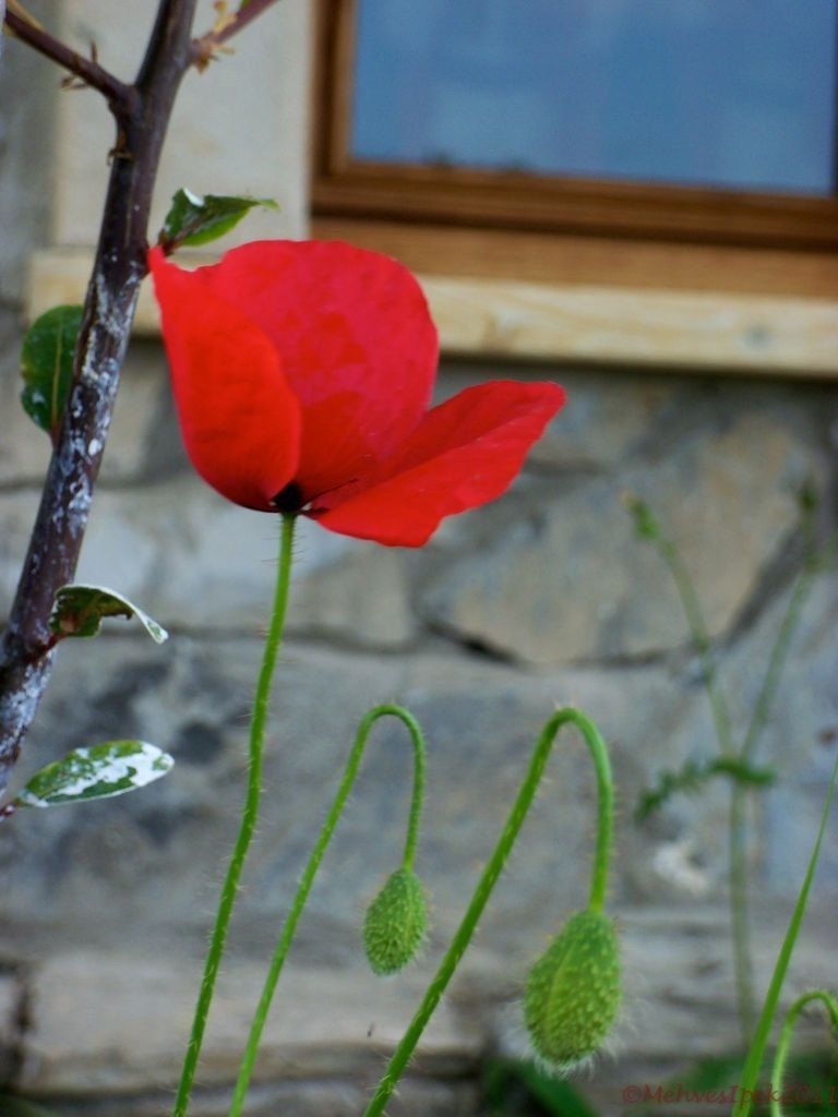 Photograph Poppy with Buds by Mehves Ipek on 500px