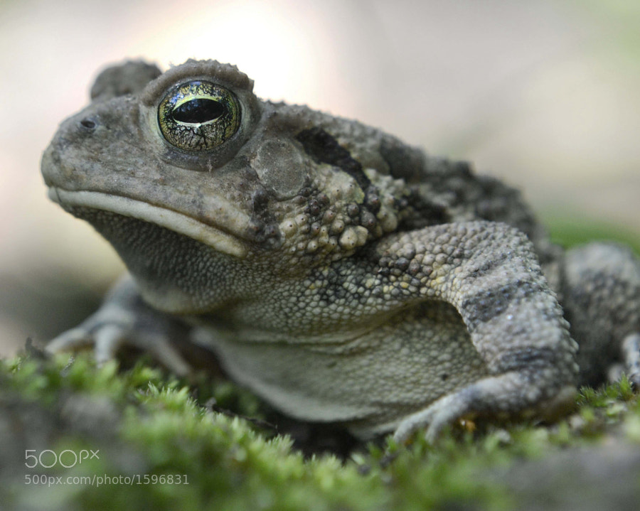 Toads sometimes sleep with their eyes open. This fellow snoozed away and allowed me to get within inches....I snapped lots of photos before he awakened. This was taken right as he began to stir.
