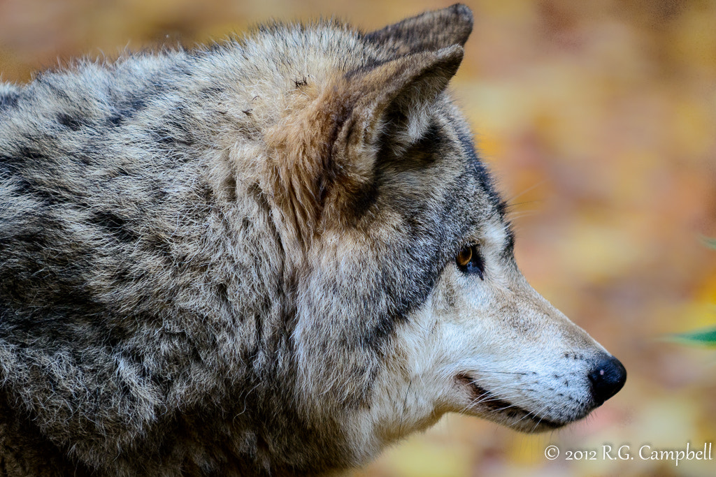 Photograph Gray (aka Grey) Wolf by Russ Campbell on 500px