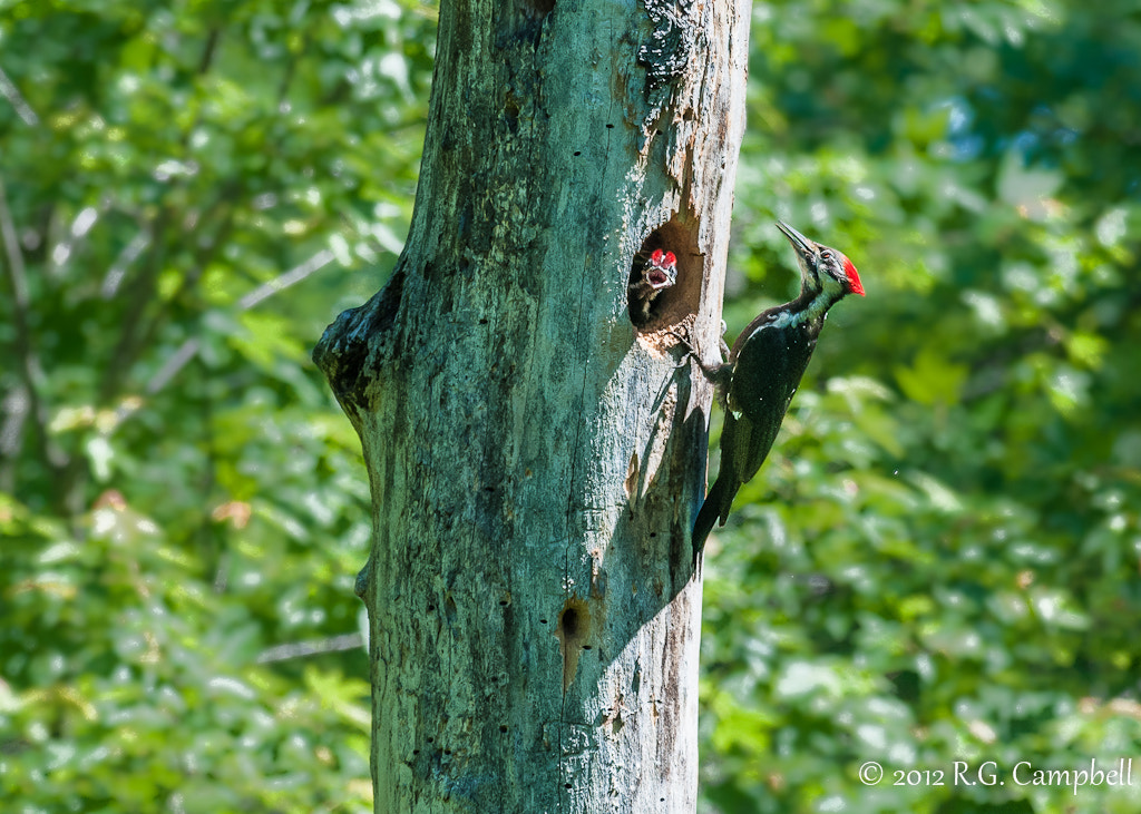 Photograph Pileated Woodpecker by Russ Campbell on 500px